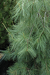 Weeping White Pine (Pinus strobus 'Pendula') at Highland Avenue Greenhouse