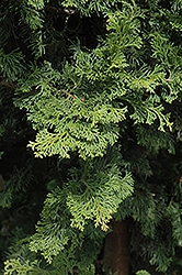 Wells Special Hinoki Falsecypress (Chamaecyparis obtusa 'Wells Special') at Highland Avenue Greenhouse