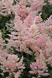 Peach Blossom Astilbe (Astilbe x rosea 'Peach Blossom') at Highland Avenue Greenhouse