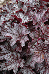 Dolce® Black Currant Coral Bells (Heuchera 'Black Currant') at Highland Avenue Greenhouse