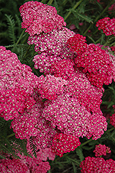 Saucy Seduction Yarrow (Achillea millefolium 'Saucy Seduction') at Highland Avenue Greenhouse