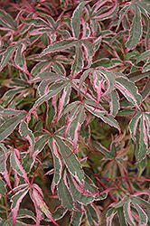 Shirazz Japanese Maple (Acer palmatum 'Gwen's Rose Delight') at Highland Avenue Greenhouse
