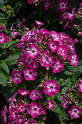 Volcano® Purple Garden Phlox (Phlox paniculata 'Volcano Purple') at Highland Avenue Greenhouse