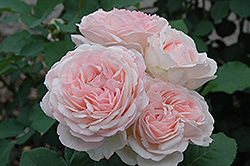 Clair Rose (Rosa 'Clair') at Highland Avenue Greenhouse