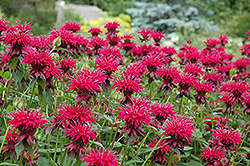 Raspberry Wine Beebalm (Monarda 'Raspberry Wine') at Highland Avenue Greenhouse