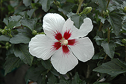 Lil' Kim® Rose of Sharon (Hibiscus syriacus 'Antong Two') at Highland Avenue Greenhouse