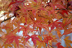 Butterfly Variegated Japanese Maple (Acer palmatum 'Butterfly') at Highland Avenue Greenhouse