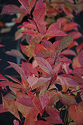 Little Henry® Virginia Sweetspire (Itea virginica 'Sprich') at Highland Avenue Greenhouse