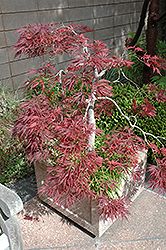 Ever Red Lace-Leaf Japanese Maple (Acer palmatum 'Ever Red') at Highland Avenue Greenhouse