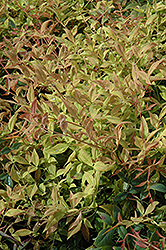 Gulf Stream Dwarf Nandina (Nandina domestica 'Gulf Stream') at Highland Avenue Greenhouse