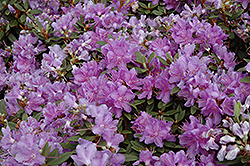Purple Gem Rhododendron (Rhododendron 'Purple Gem') at Highland Avenue Greenhouse