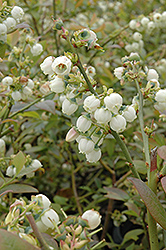 Earliblue Blueberry (Vaccinium corymbosum 'Earliblue') at Highland Avenue Greenhouse