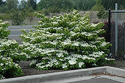 Shasta Doublefile Viburnum (Viburnum plicatum 'Shasta') at Highland Avenue Greenhouse