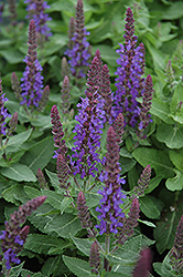 Sensation Deep Blue Sage (Salvia nemorosa 'Sensation Deep Blue') at Highland Avenue Greenhouse