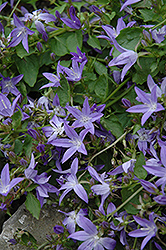 Serbian Bellflower (Campanula poscharskyana) at Highland Avenue Greenhouse