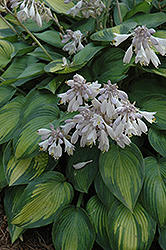 June Hosta (Hosta 'June') at Highland Avenue Greenhouse