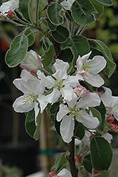 Granny Smith Apple (Malus 'Granny Smith') at Highland Avenue Greenhouse