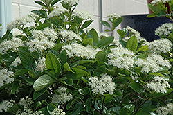 Winterthur Viburnum (Viburnum nudum 'Winterthur') at Highland Avenue Greenhouse