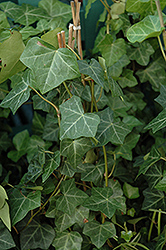 Thorndale Ivy (Hedera helix 'Thorndale') at Highland Avenue Greenhouse
