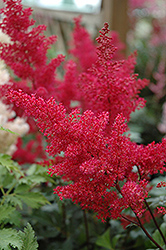 Montgomery Japanese Astilbe (Astilbe japonica 'Montgomery') at Highland Avenue Greenhouse