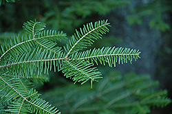 Balsam Fir (Abies balsamea) at Highland Avenue Greenhouse