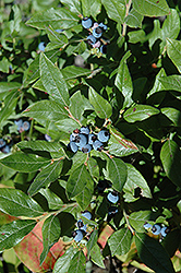 Lowbush Blueberry (Vaccinium angustifolium) at Highland Avenue Greenhouse