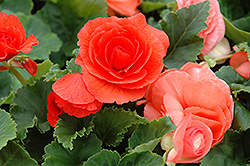 Nonstop® Deep Salmon Begonia (Begonia 'Nonstop Deep Salmon') at Highland Avenue Greenhouse