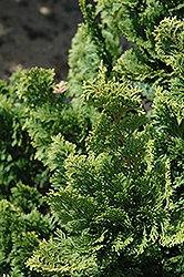 Well's Special Hinoki Falsecypress (Chamaecyparis obtusa 'Well's Special') at Highland Avenue Greenhouse