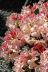Percy Wiseman Rhododendron (Rhododendron 'Percy Wiseman') at Highland Avenue Greenhouse