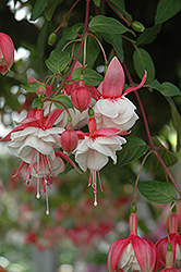 Swingtime Fuchsia (Fuchsia 'Swingtime') at Highland Avenue Greenhouse