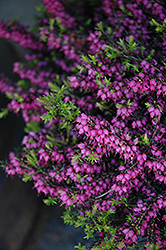 Kramer's Rote Heath (Erica carnea 'Kramer's Red') at Highland Avenue Greenhouse