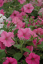 Supertunia Vista® Bubblegum Petunia (Petunia 'Supertunia Vista Bubblegum') at Highland Avenue Greenhouse