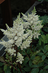 Younique White™ Astilbe (Astilbe 'Verswhite') at Highland Avenue Greenhouse