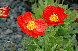 Spring Fever Red Poppy (Papaver nudicaule 'Spring Fever Red') at Highland Avenue Greenhouse