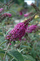 Miss Ruby Butterfly Bush (Buddleia davidii 'Miss Ruby') at Highland Avenue Greenhouse