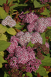 Double Play® Big Bang™ Spirea (Spiraea 'Tracy') at Highland Avenue Greenhouse