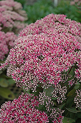 Mr. Goodbud Stonecrop (Sedum 'Mr. Goodbud') at Highland Avenue Greenhouse