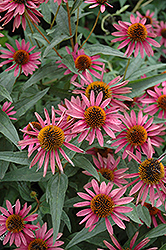 Pica Bella Coneflower (Echinacea purpurea 'Pica Bella') at Highland Avenue Greenhouse