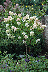 Limelight Hydrangea (tree form) (Hydrangea paniculata 'Limelight (tree form)') at Highland Avenue Greenhouse