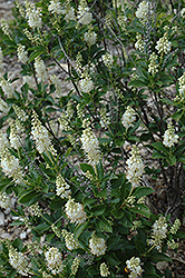 September Beauty Summersweet (Clethra alnifolia 'September Beauty') at Highland Avenue Greenhouse
