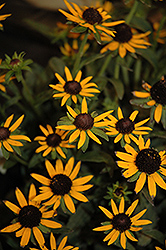 Little Goldstar Coneflower (Rudbeckia fulgida 'Little Goldstar') at Highland Avenue Greenhouse