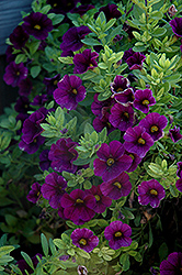 Aloha Midnight Purple Calibrachoa (Calibrachoa 'Aloha Midnight Purple') at Highland Avenue Greenhouse