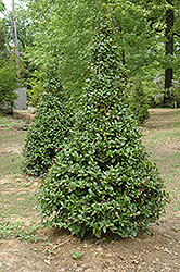 Castle Spire® Meserve Holly (Ilex x meserveae 'Hachfee') at Highland Avenue Greenhouse