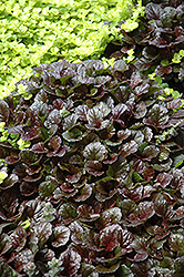 Black Scallop Bugleweed (Ajuga reptans 'Black Scallop') at Highland Avenue Greenhouse