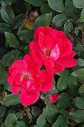 Red Knock Out® Rose (Rosa 'Red Knock Out') at Highland Avenue Greenhouse