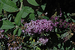 Lo And Behold® Lilac Chip Dwarf Butterfly Bush (Buddleia 'Lo And Behold Lilac Chip') at Highland Avenue Greenhouse