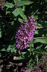 Flutterby Petite® Tutti Fruitti Butterfly Bush (Buddleia davidii 'Podaras 13') at Highland Avenue Greenhouse