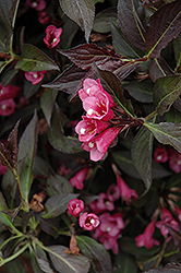 Spilled Wine® Weigela (Weigela florida 'Bokraspiwi') at Highland Avenue Greenhouse