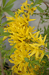 Gold Tide Forsythia (Forsythia x intermedia 'Gold Tide') at Highland Avenue Greenhouse