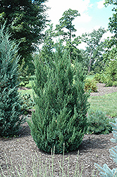 Blue Point Juniper (Juniperus chinensis 'Blue Point') at Highland Avenue Greenhouse